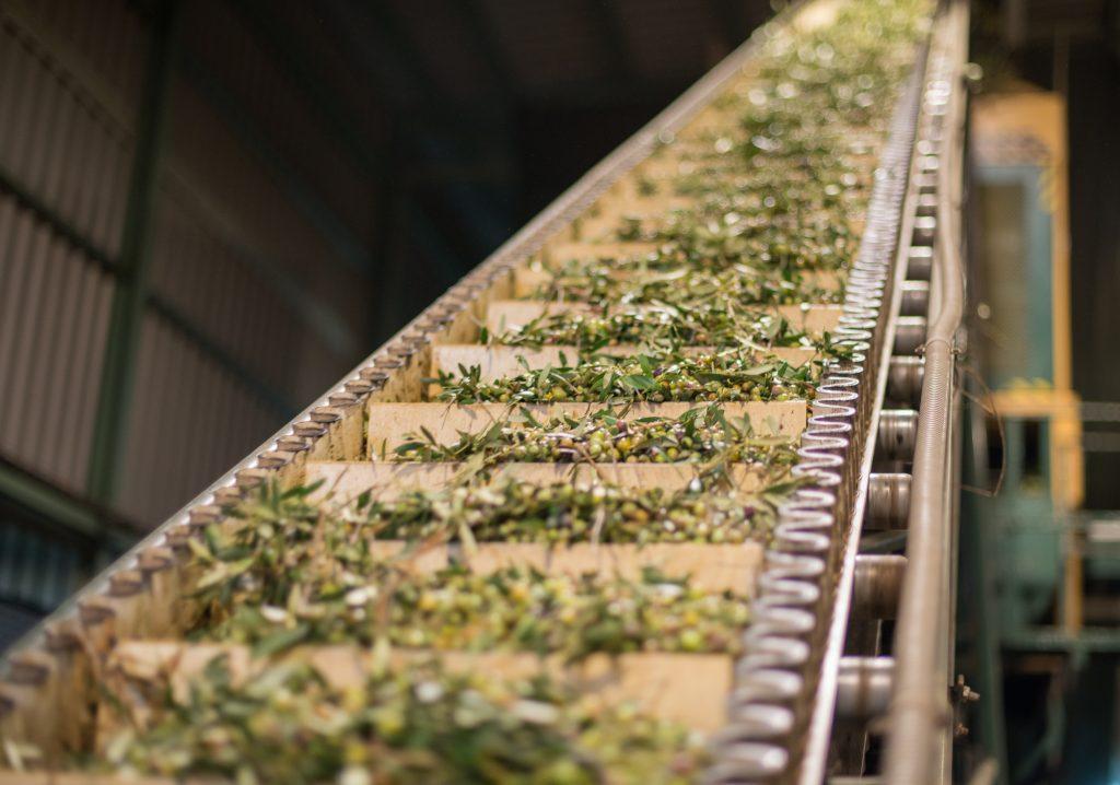 Elaboración de aceite de oliva virgen extra Aldonza Gourmet.